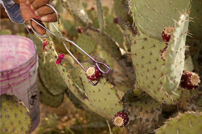 Опунция для конфет растет в диких условиях, ее никто не выращивал намеренно
