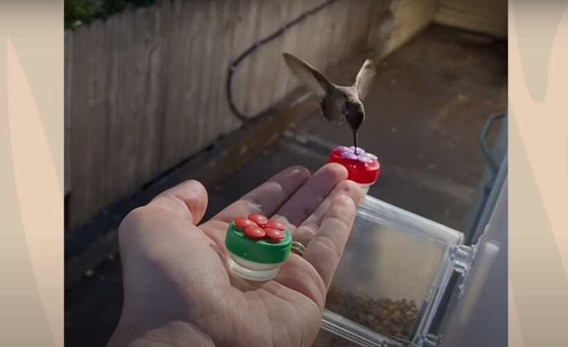 Видео: Мужчина приручил колибри, и теперь она пьет у него с руки