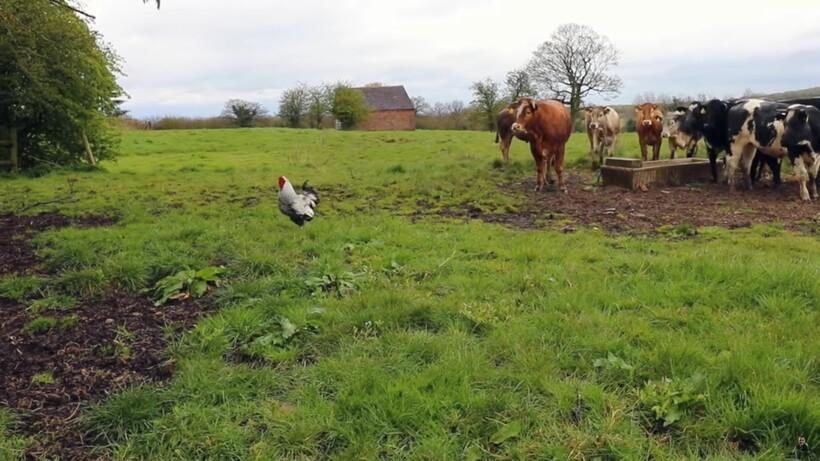 Видео: Бешеный петух нападает на чересчур любопытных быков