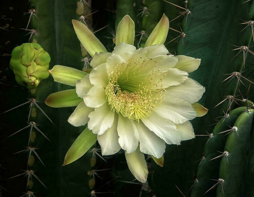 Нефритовая лоза, огненная лилия, жертвоприношения и 12 самых редких и невероятных цветов в мире