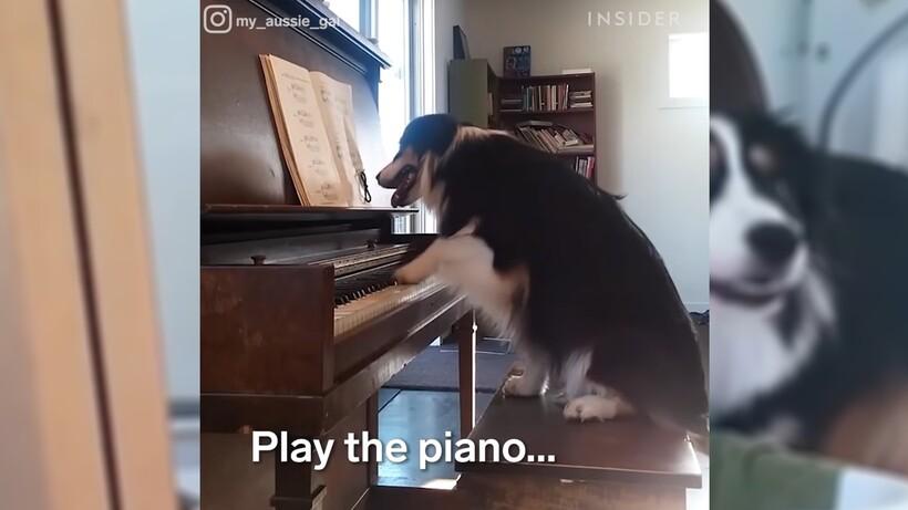 Видео: Собака из Австралии, которая рисует, танцует и занимается йогой