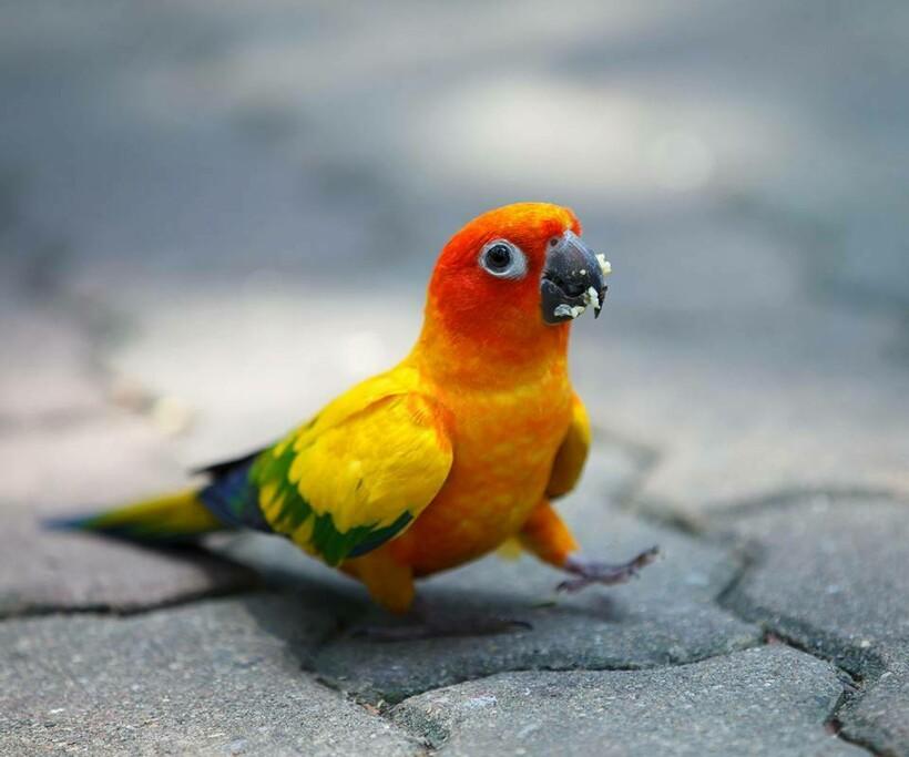 Солнечные попугаи — очень социальные существа, и поэтому популярны в качестве питомцев