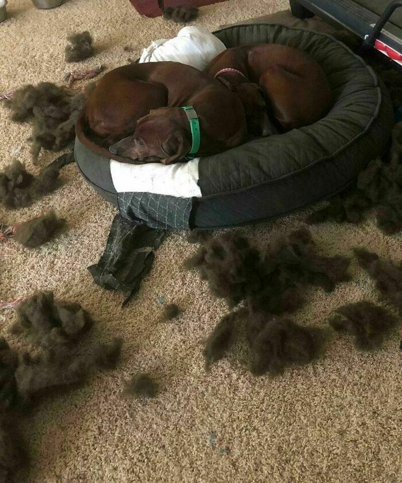 12 забавных фото самых плохих собак, которые раскаиваются в своих действиях