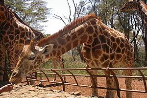 Африканский фонд по защите дикой природы - Заповедник «Центр жирафов