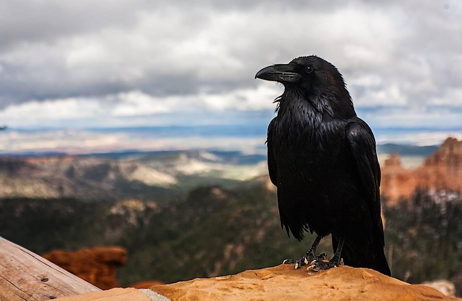 Почему ворон — самая умная птица в мире