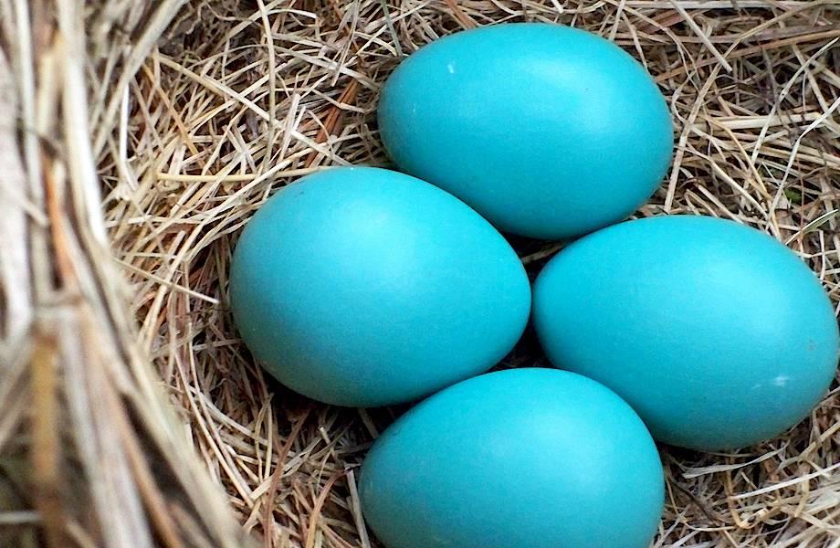 Пернатое зло: что происходит в гнезде, куда кукушка подбросила свое яйцо