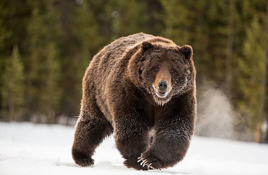 Ученые выделили сильнейший антибиотик из слюны бурого медведя