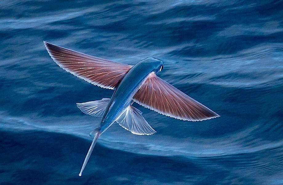 У них даже есть крылья: рыбы, которые умеют летать