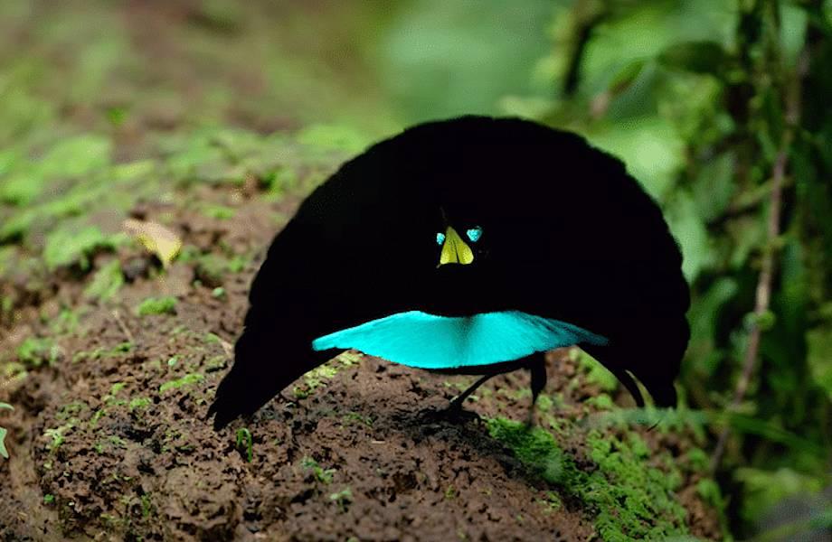 Удивительная редкая птица, чьи перья поглощают 99,95% света