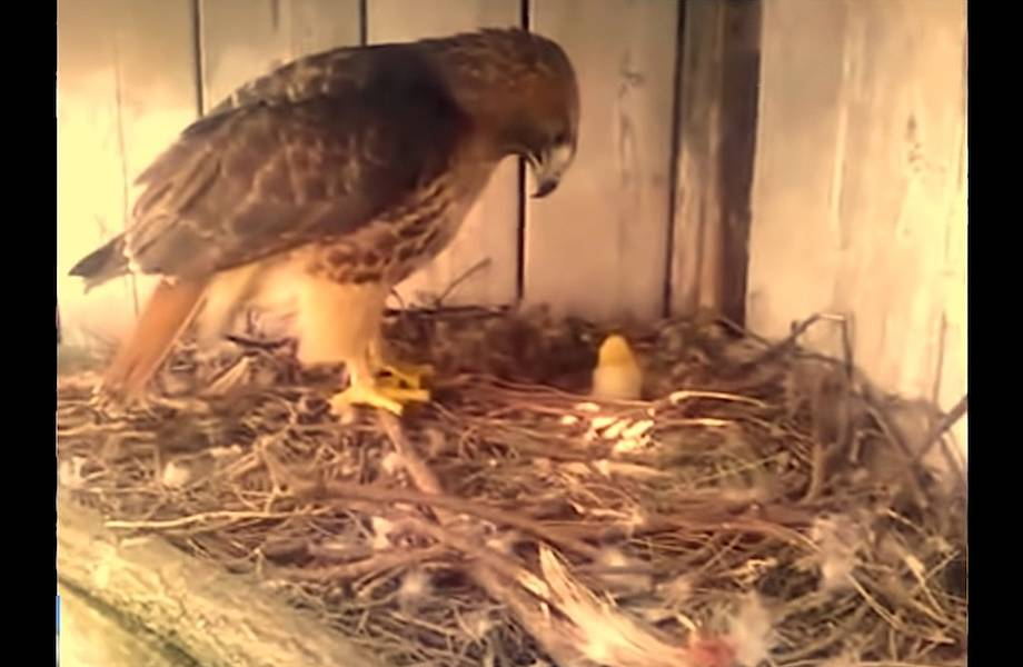 Видео: Фермер подложил куриное яйцо под орла — чем это обернулось для цыпленка