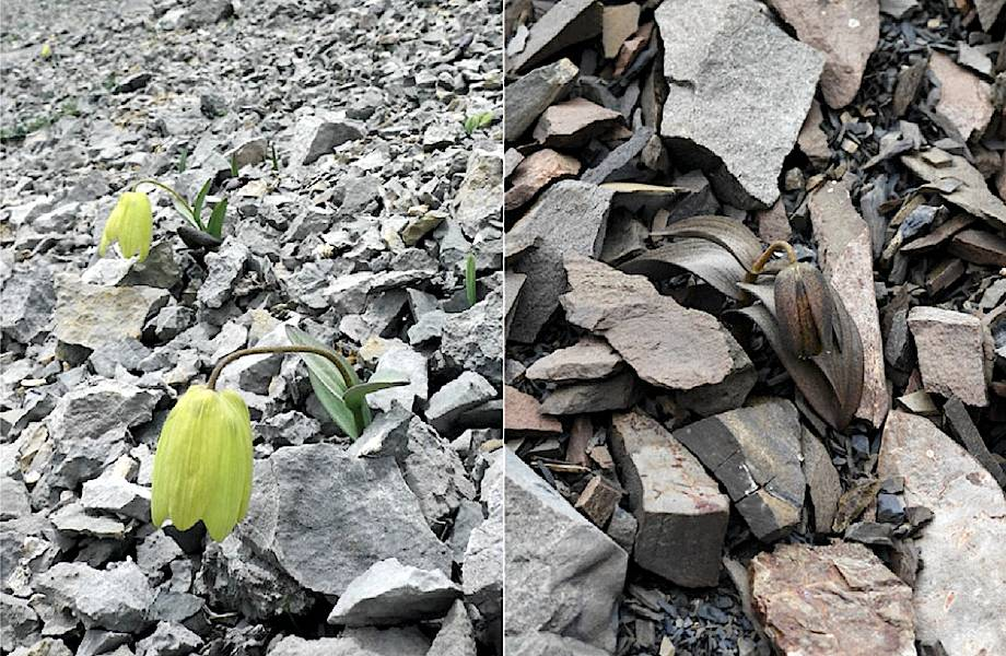Цветок научился превращаться в камень, чтобы его не срывали люди