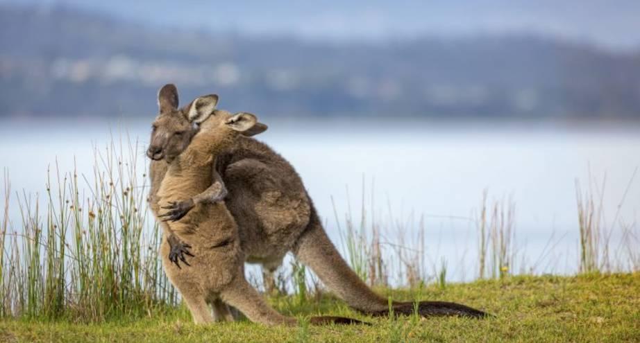Фото дня: детеныш кенгуру обнимает свою маму