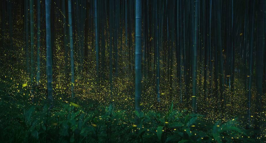 Фото дня: светлячки в лесах Японии
