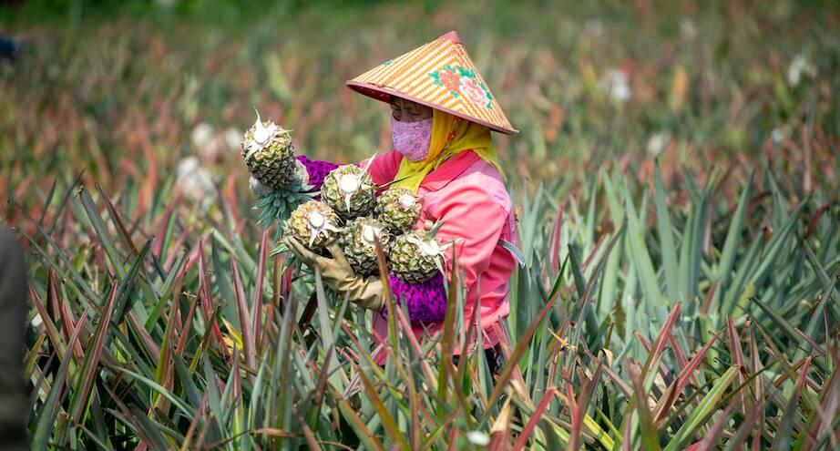 Фото дня: китайский фермер собирает ананасы