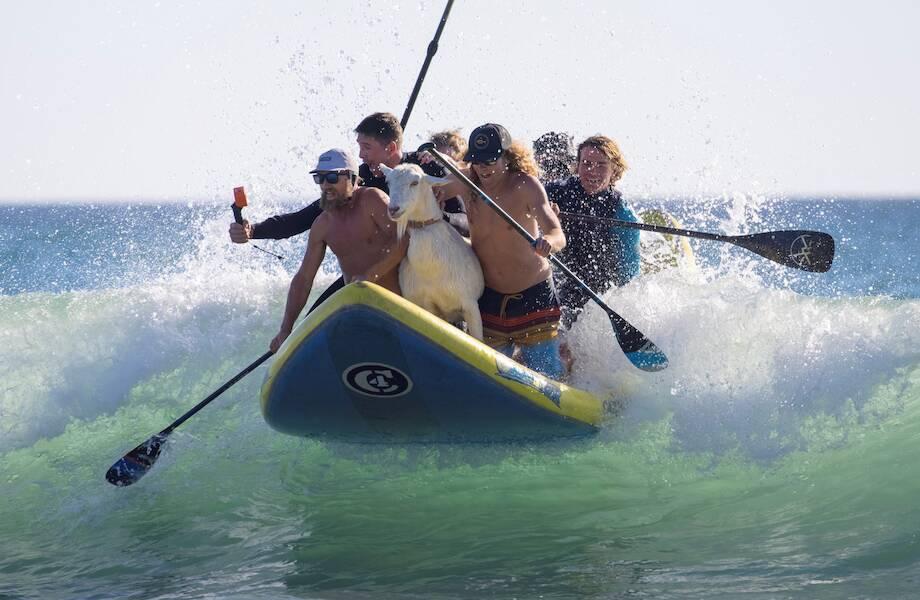 В Калифорнии козы обучают детей серфингу