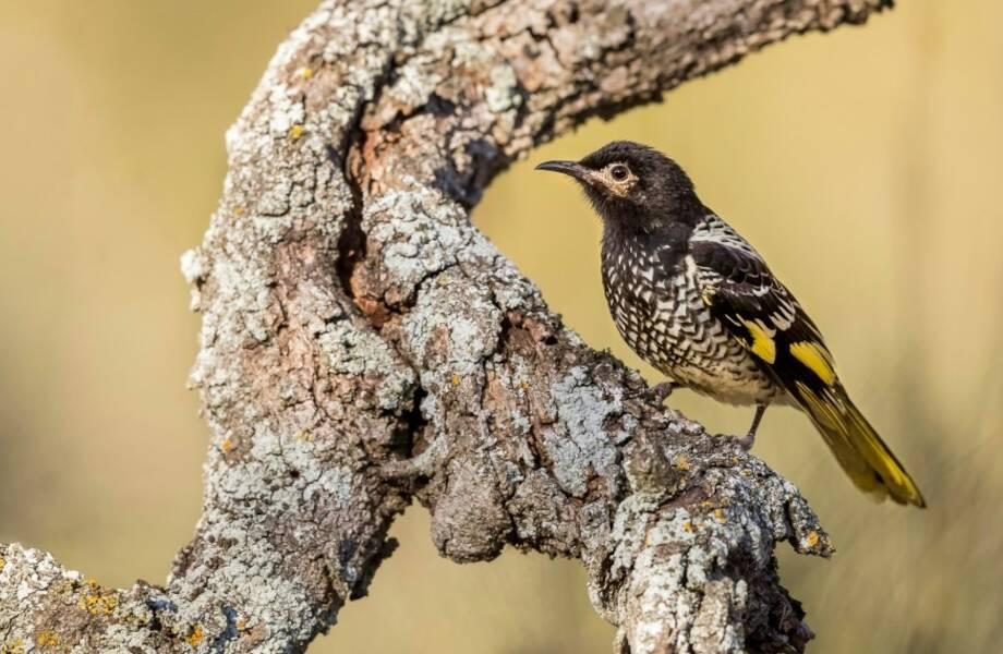 Австралийские птицы разучились петь: почему из-за песен они могут исчезнуть