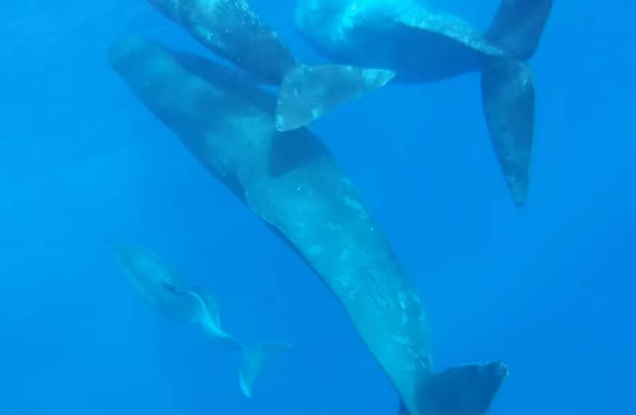 Видео: Удивительный случай — кашалоты приютили дельфина с особенностями