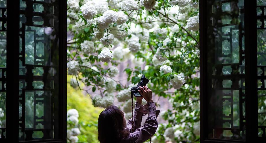 Фото дня: девушка фотографирует гортензию