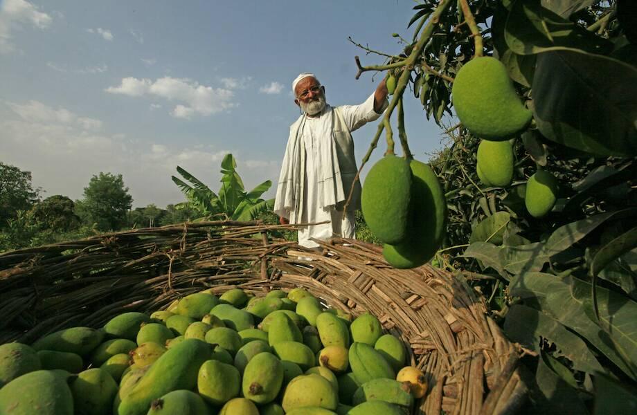 Индийский садовод превратил одно дерево в целый сад: на нем растут сотни видов манго