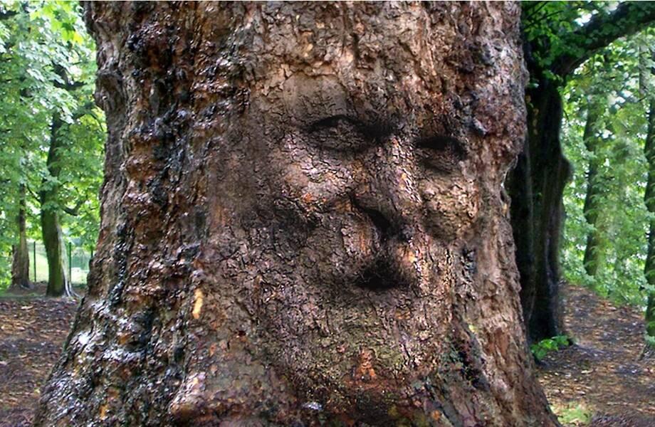 Самому старому дереву 43 тысячи лет: все потому, что оно клонирует себя