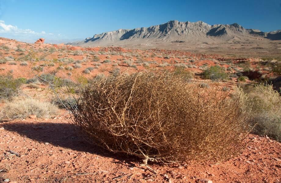 Видео: Как растение перекати-поле, русский чертополох, стало символом Дикого Запада