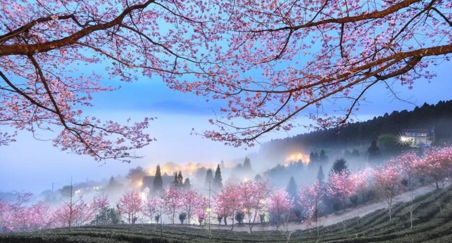 Фото дня: вишневые деревья в цвету