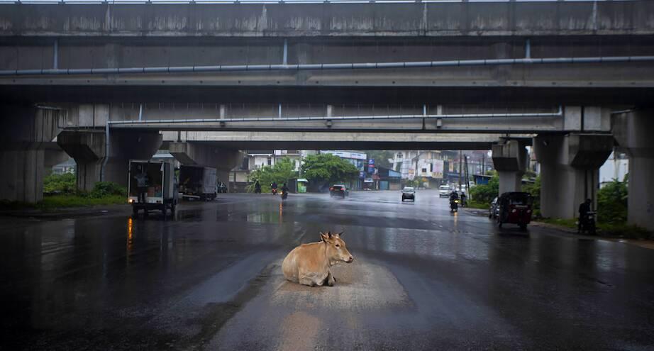 Фото дня: корова укрывается от дождя на дороге во время локдауна
