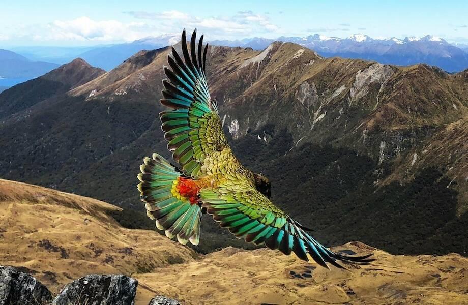 Единственный в мире попугай, который живет в горах, а не в лесу, сбежал туда от людей