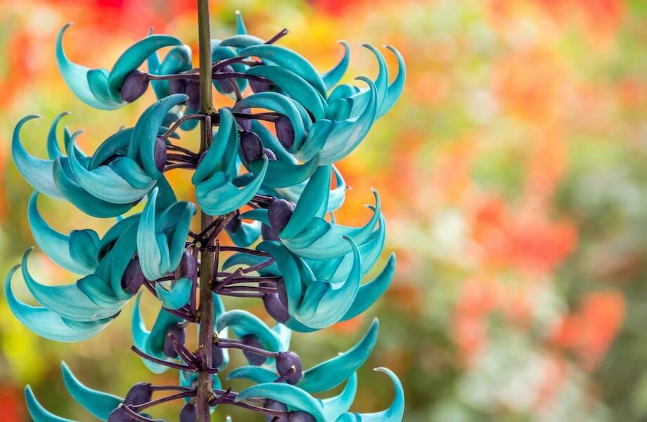 Нефритовая лоза, огненная лилия, офрис и еще 12 самых редких и невероятных цветов мира
