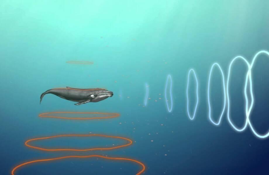 Человек может научиться видеть как киты за 10 недель