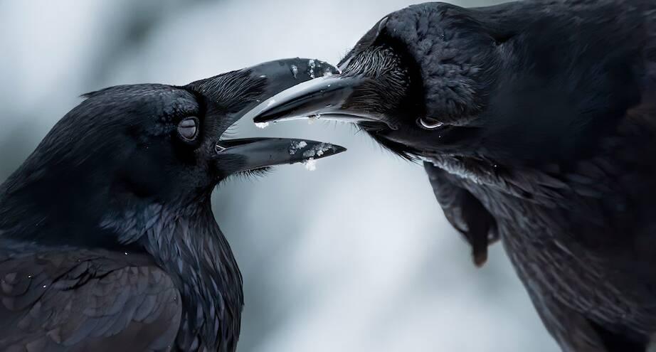 Фото дня: брачные игры воронов